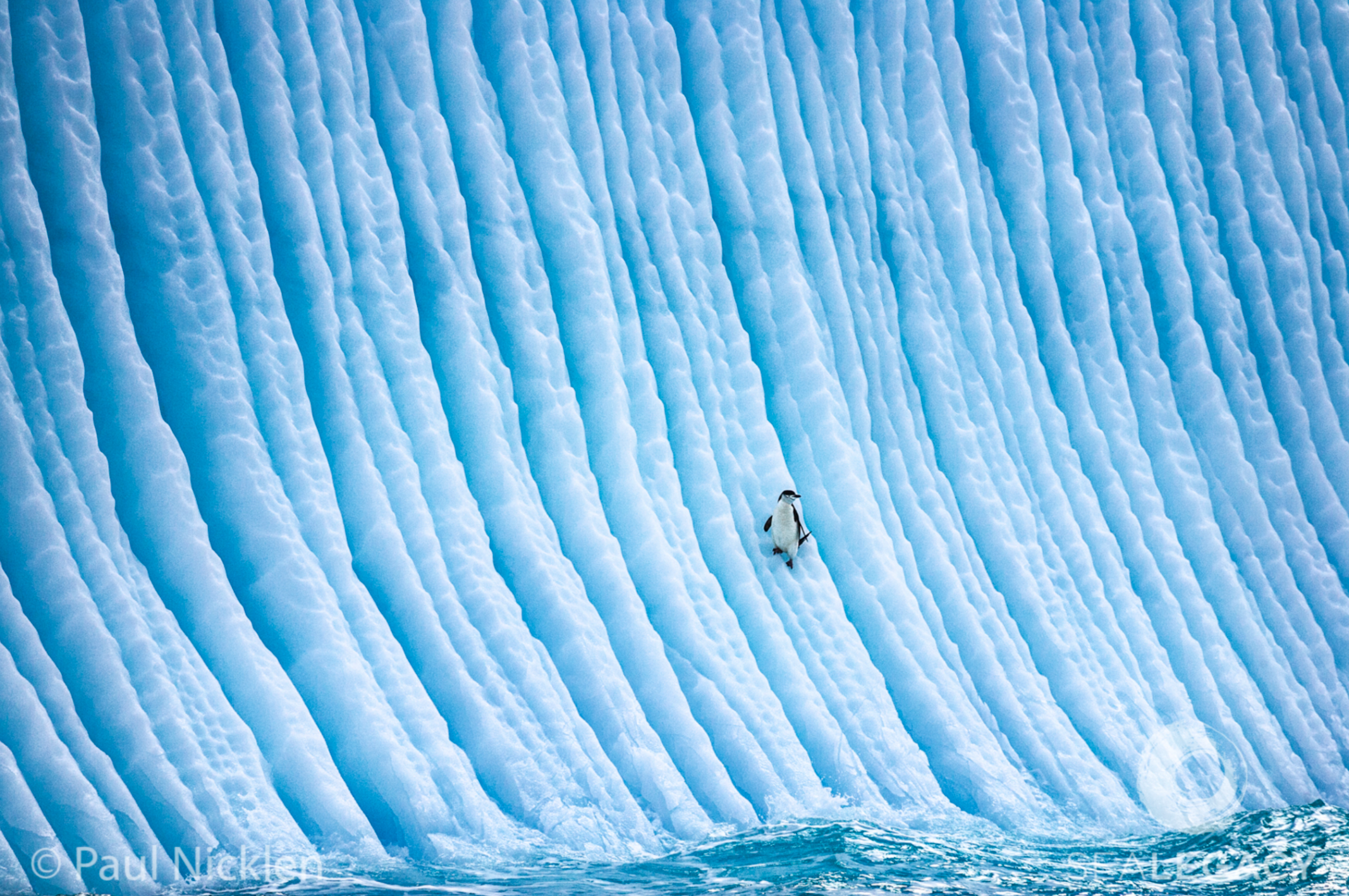 Paul Nicklen, Slipper Slope  Digital Chromogenic Print, 20x30 in.
