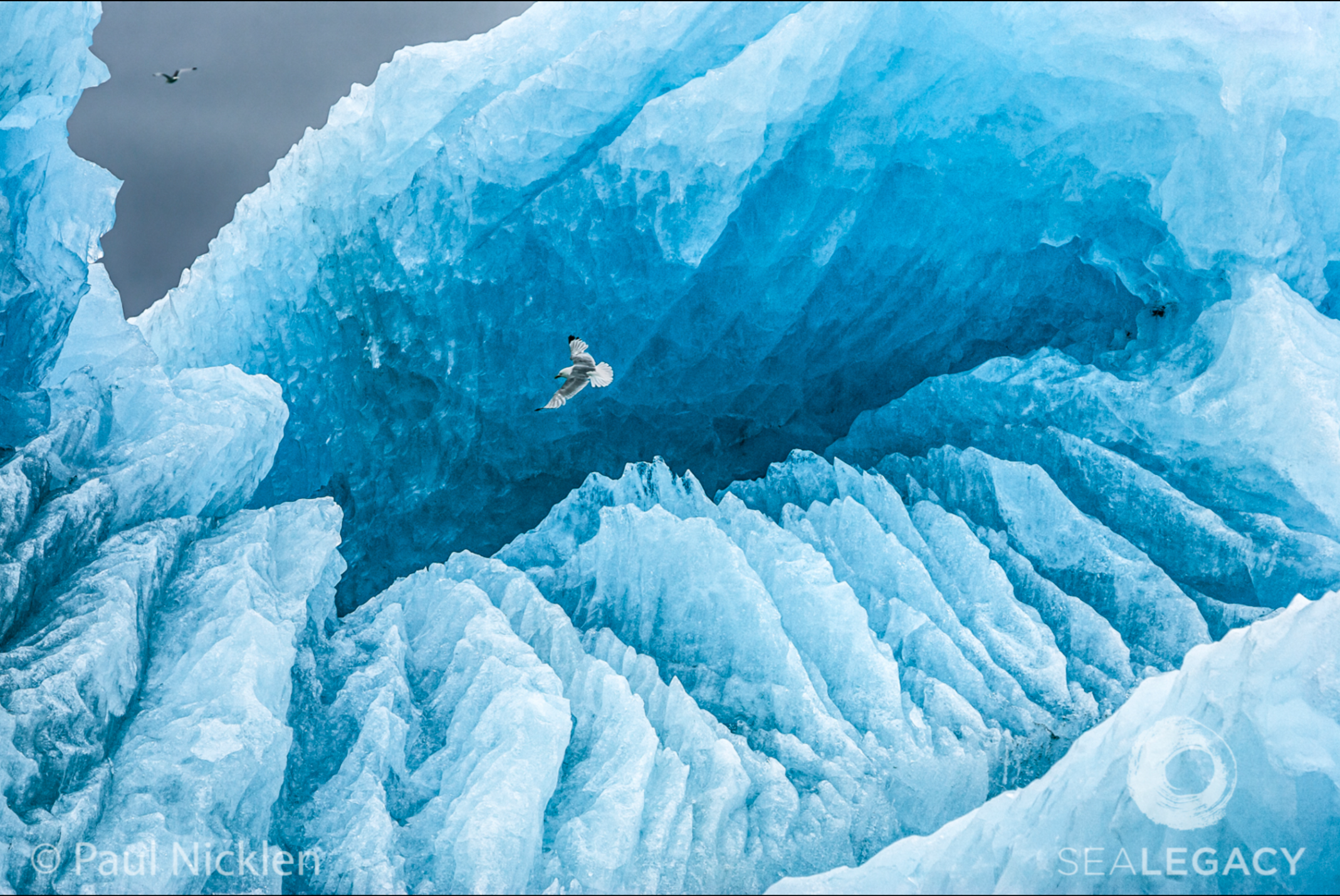 Paul Nicklen, Kittiwake  Digital Chromogenic Print, 20x30 in.