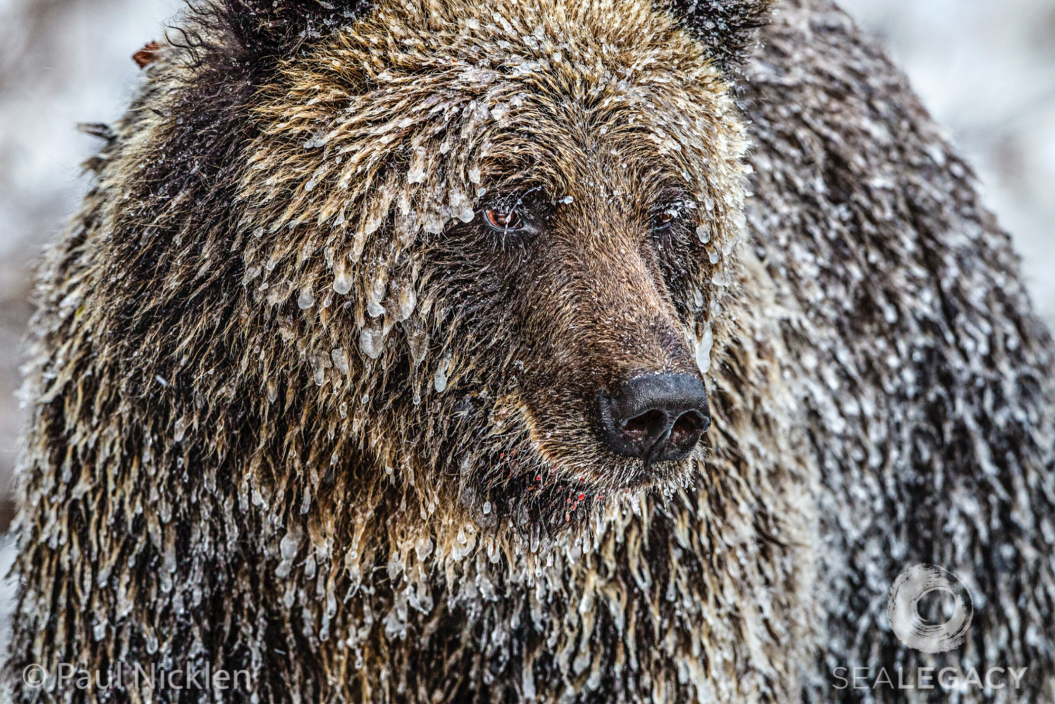 Paul Nicklen, Frosty Bear  Archival Pigment Print, 20x30 in.