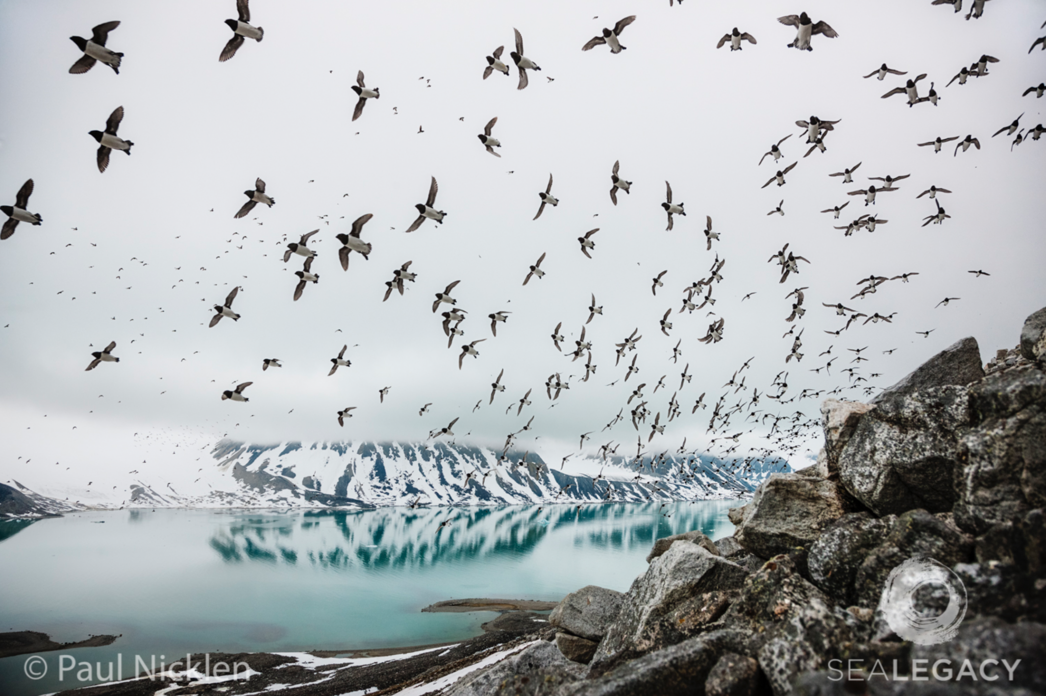 Paul Nicklen, Arctic Flight  Digital Chromogenic Print, 20x30 in.