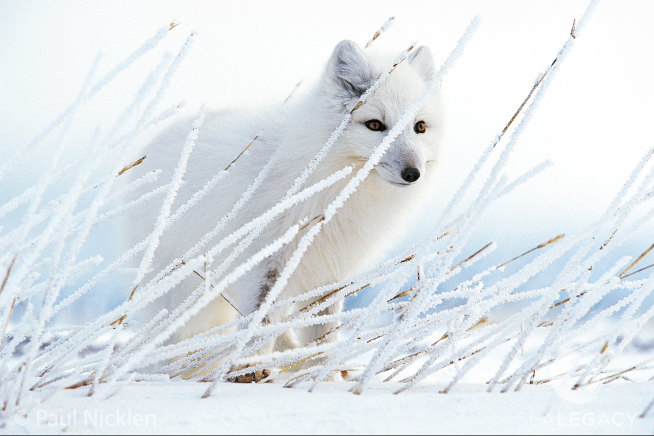 Paul Nicklen, Arctic Fox  Archival Pigment Print, 20x30 in.