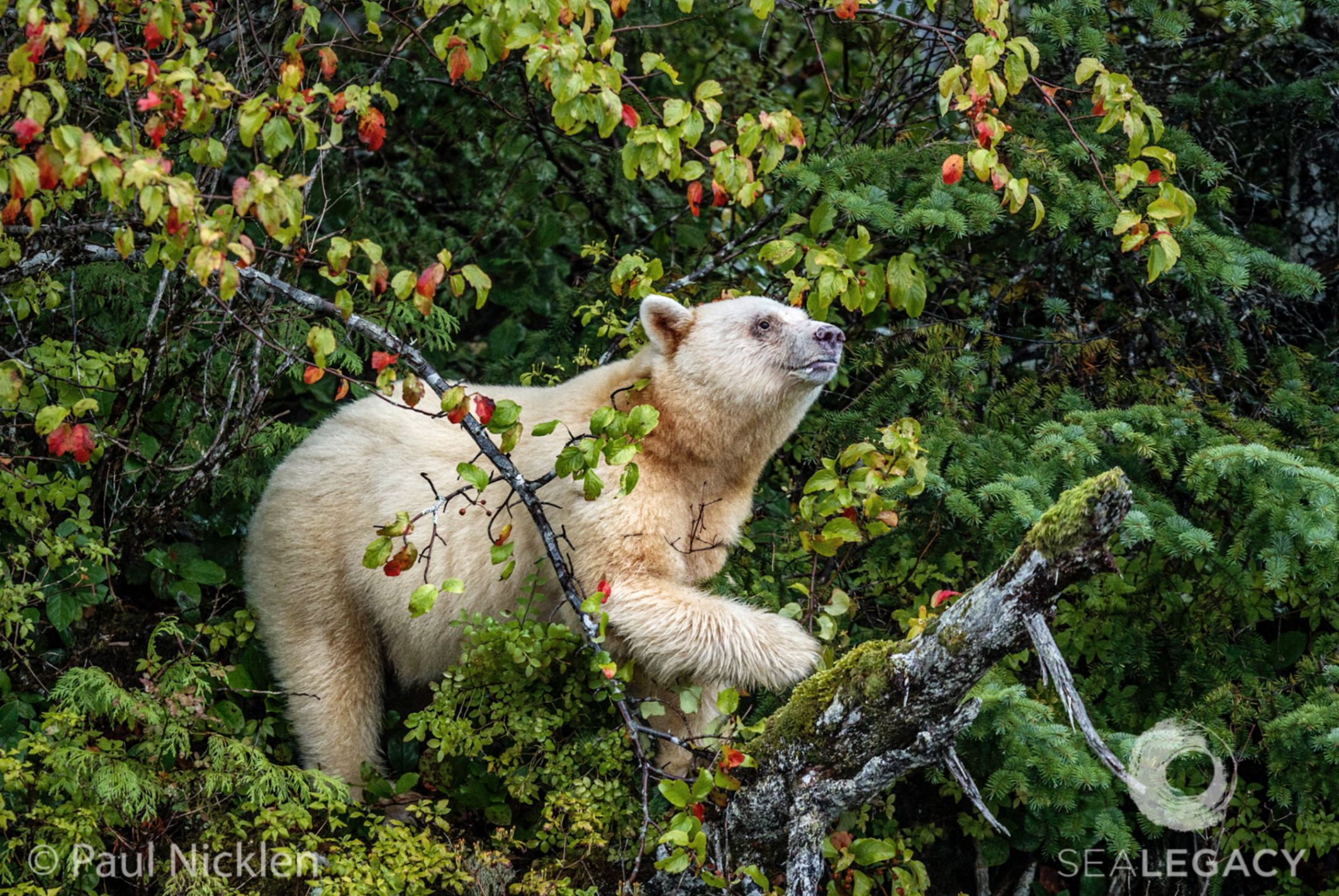 Paul Nicklen, Spirit Bear  Archival Pigment Print, 20x30 in.