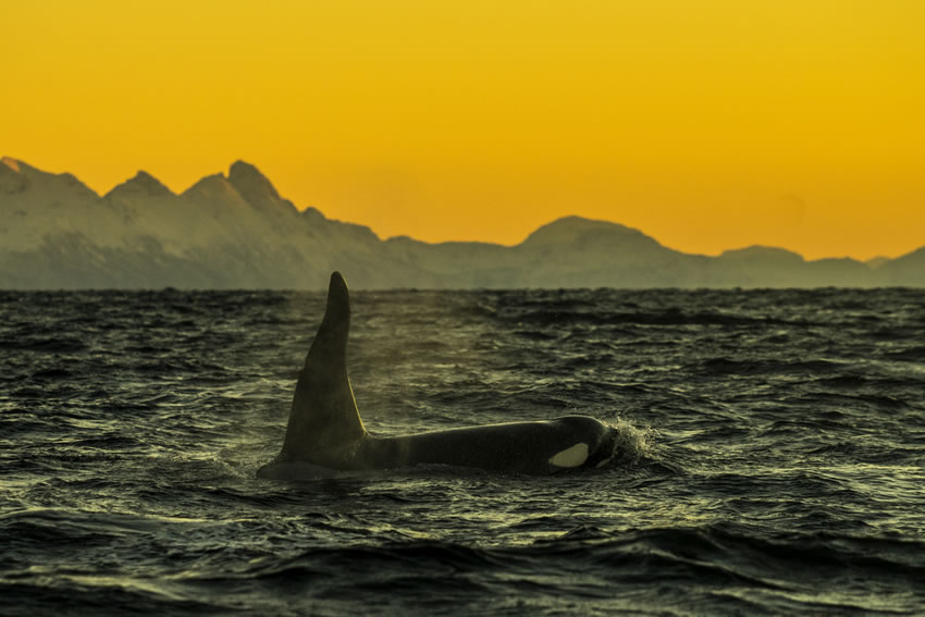 Cristina Mittermeier, Breath of an Orca  Digital Chromogenic Print on William Turner Cotton, 20x30 in.
