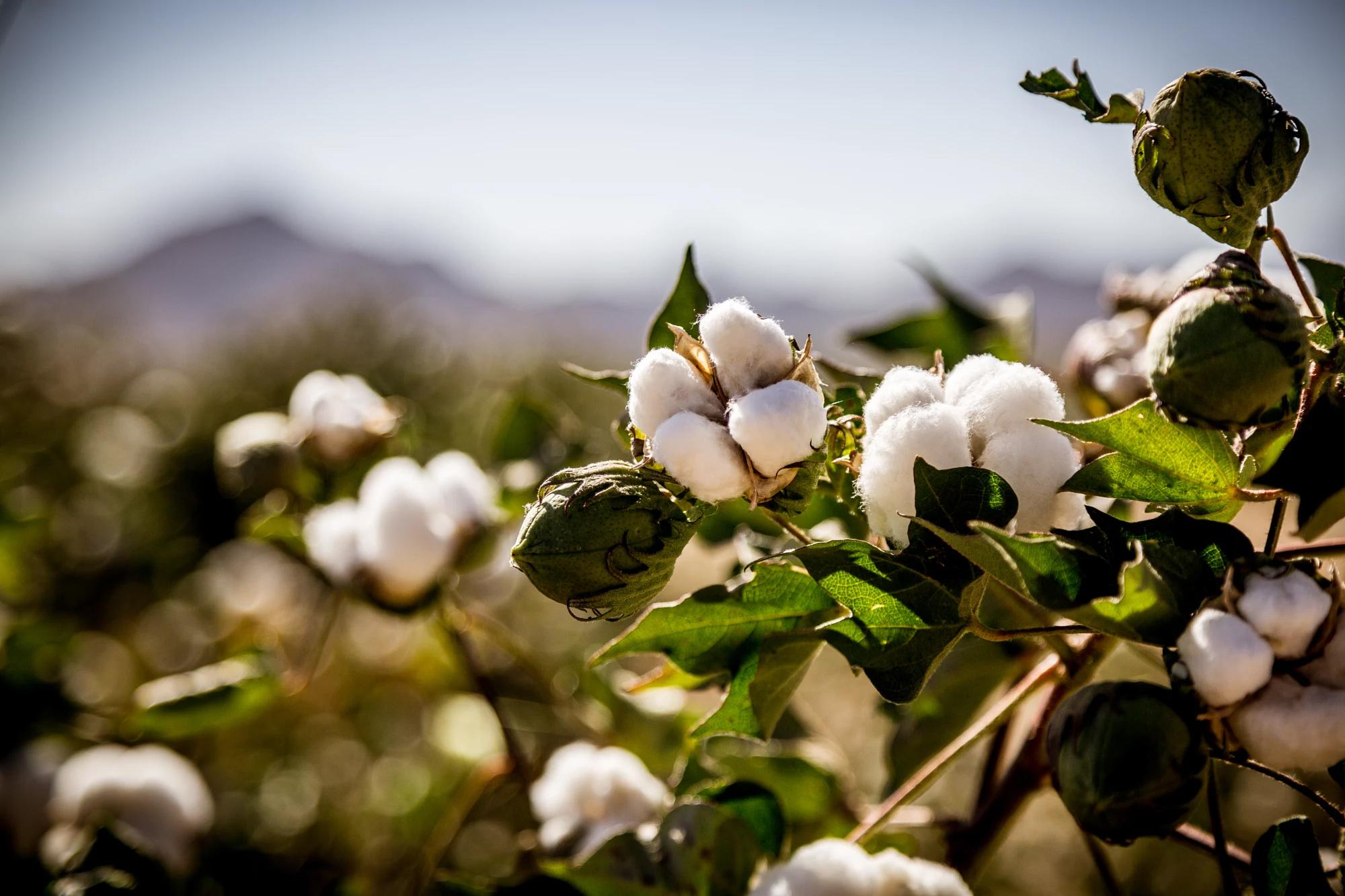 Cotton plant 1.jpg