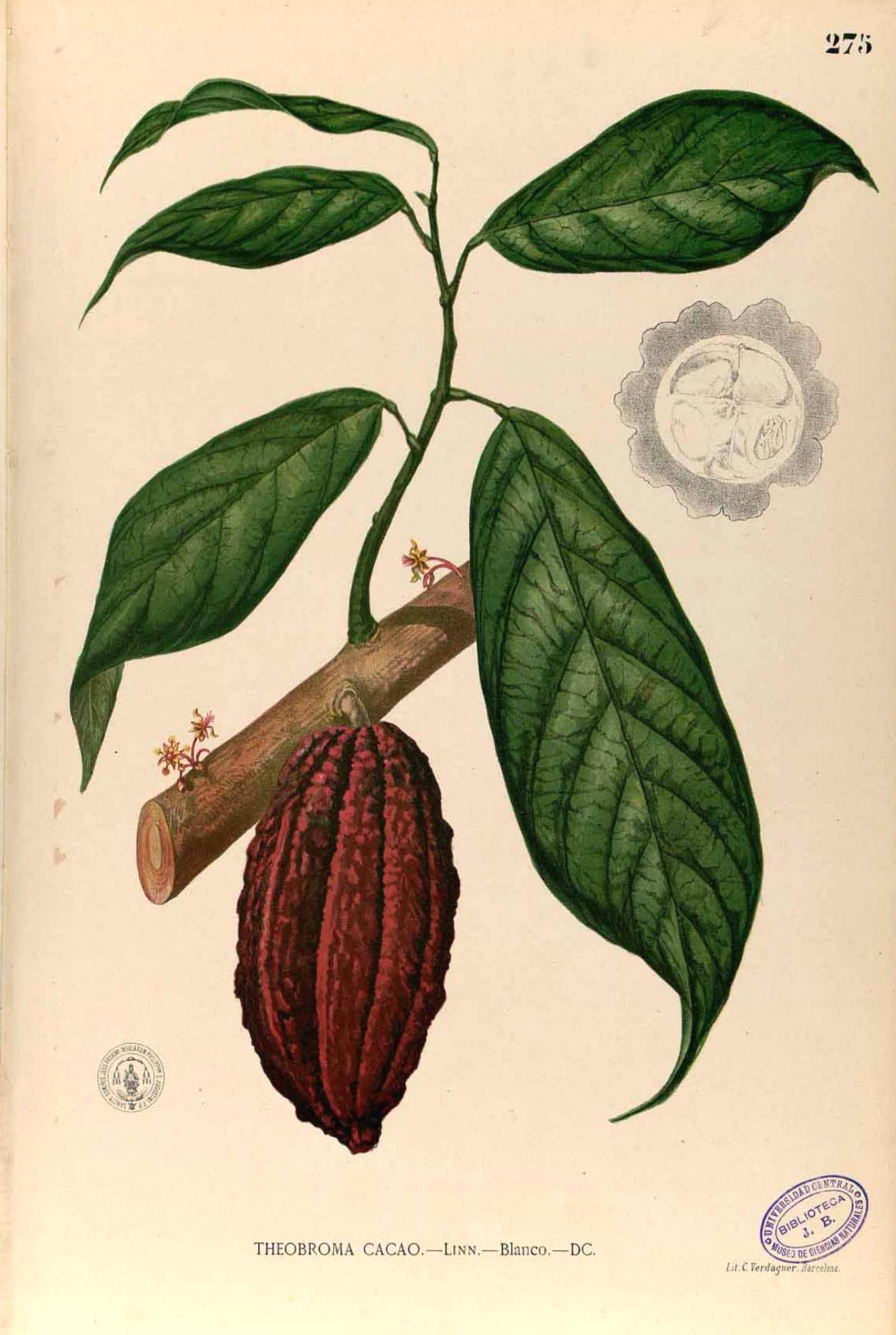 Kakaoplante Theobroma Cacao