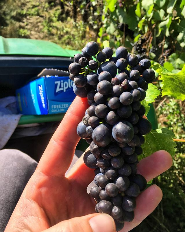We have just a few blocks left of Pinot out there... harvested our 943 clone yesterday. A perennial favorite of ours! Check out those beautiful hens and chicks🐣