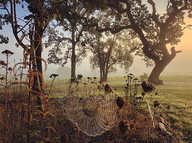 Another truly majestic harvest morning here at Johan. Our rockstar intern @williorwonti captured this stunning web basking in the morning glow✨