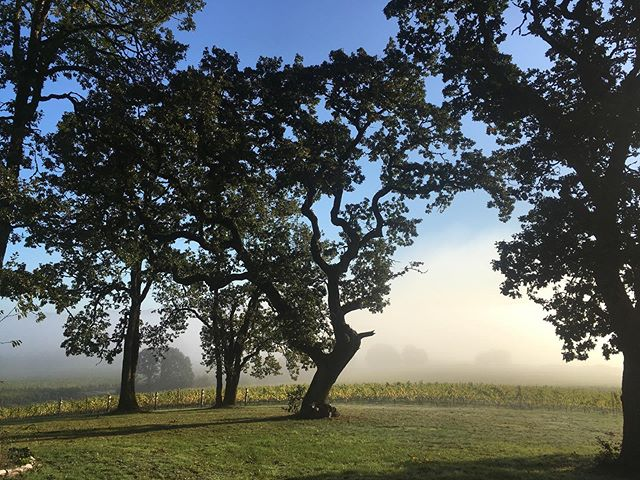 Love the moment when the fog starts to clear, sun shines through, vines become illuminated... and our fingers warm up❤️ #johanvineyards  #wvwines  #harvest2019