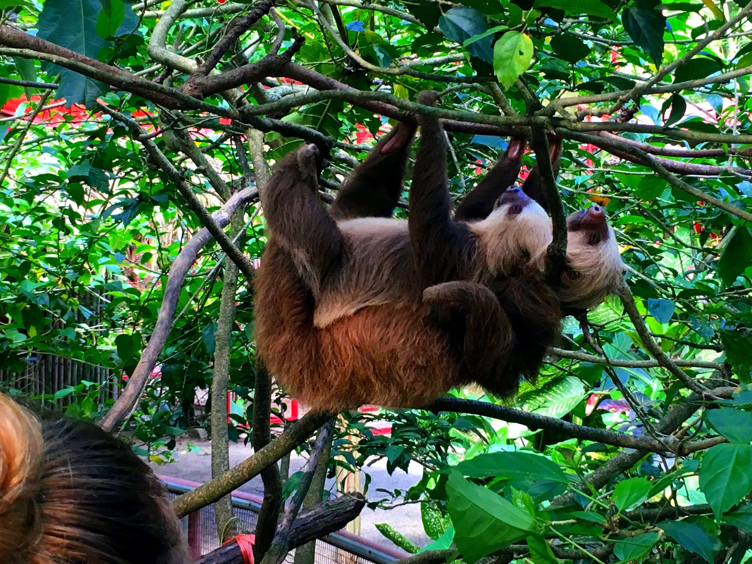 MAMA & BABY SLOTHS AT THE JAGUAR SANCTUARY IN COSTA RICA