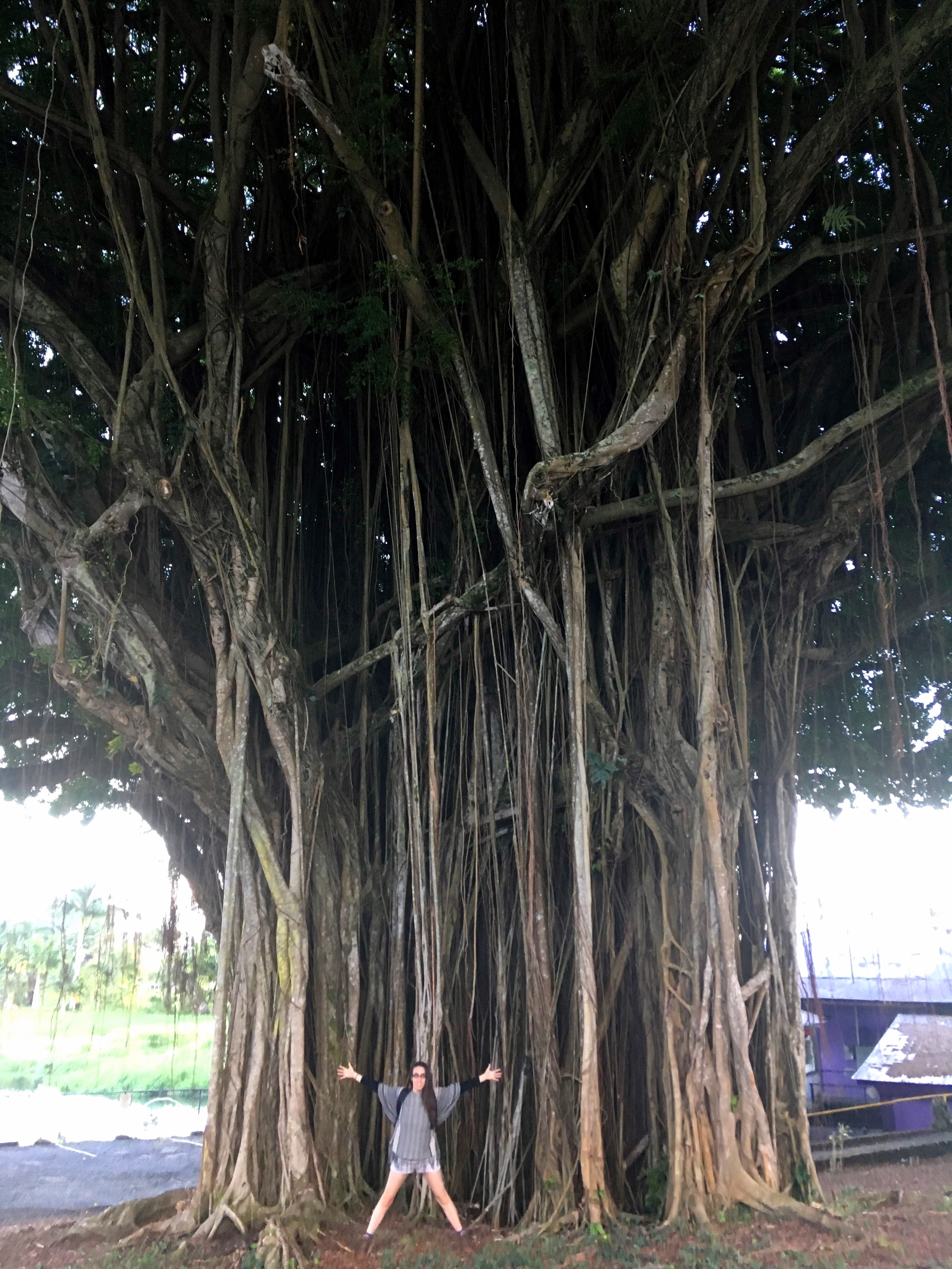 HOW THIS FOR PERSPECTIVE? ANCIENT TREE, HILO HAWAII
