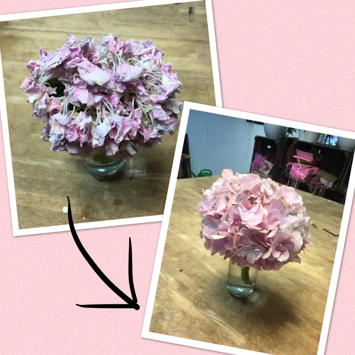 An example of Hydrangea which was revived after a good dunking.