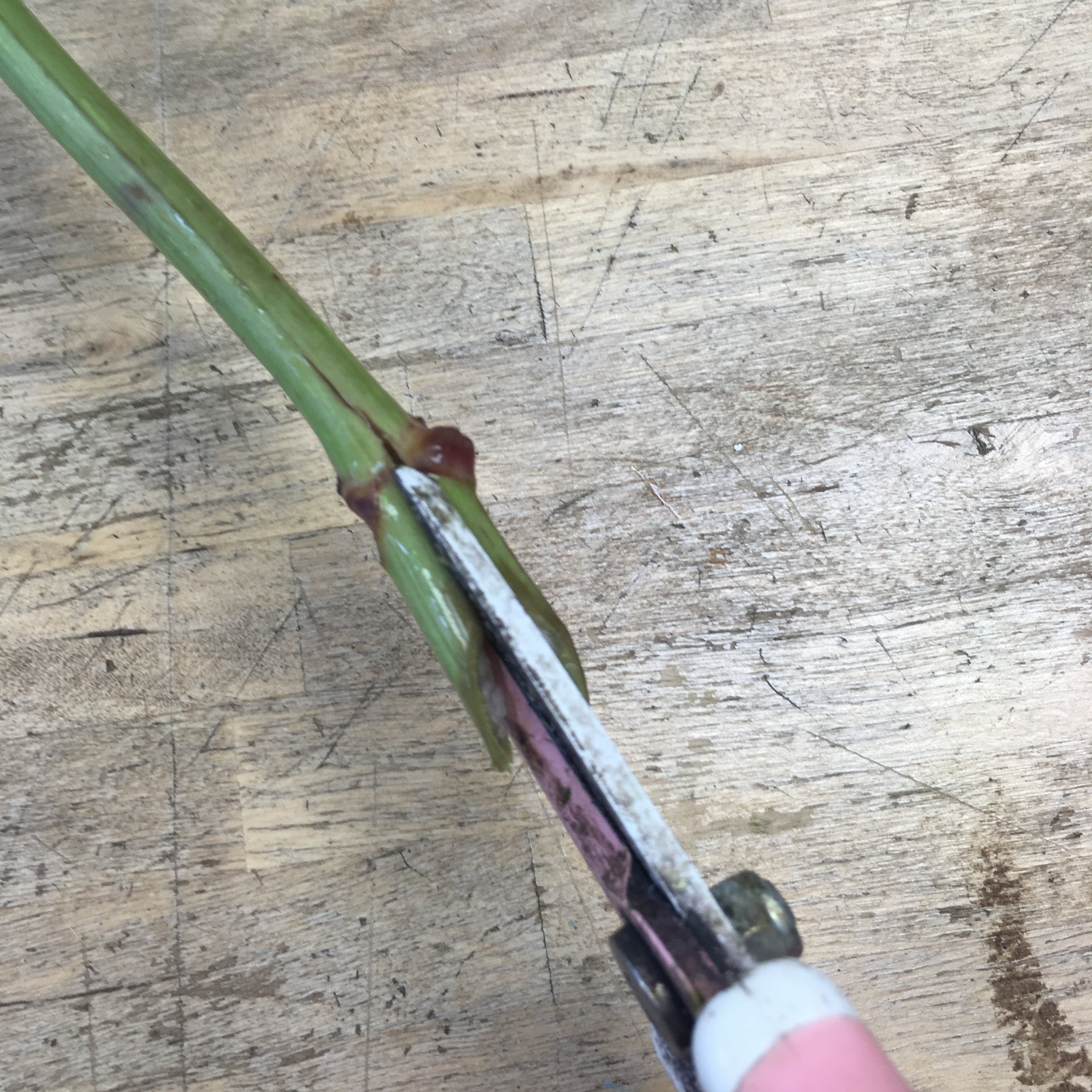 Cutting up the stem as well as across at a 45 degree angle.