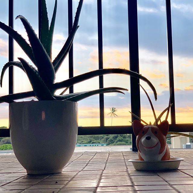 Just a few friendly weekend reminders:  1. Don't forget to water the plants🌱  2. Don't for get to enjoy the view☀️ #hapatravelhawaii #nature #adventure #local #sunset #travelplanner #succulents #corgi #plants #hawaii #aloha