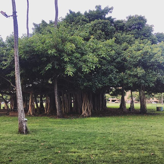 Old Banyan Trees have a special place in Hawaii. For this tree to continue on, it must branch out and spread it roots to grow. 🌳💚 #roots #hawaii #aloha #travel #hapatravelhawaii #local #nature #naturalplayground #islandlife #travelplanner #learn #oahu #adventuretime