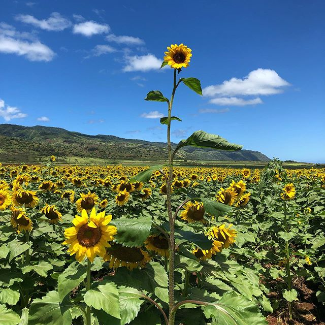 Sunshine all year round 🌻 . . . #hawaiidmc #aloha #sunflower #hapatravelhawaii #hawaiitrip #travelplanner #ハワイ #アロハ #ハワイだいすき #ハワイ旅行 #ひまわり