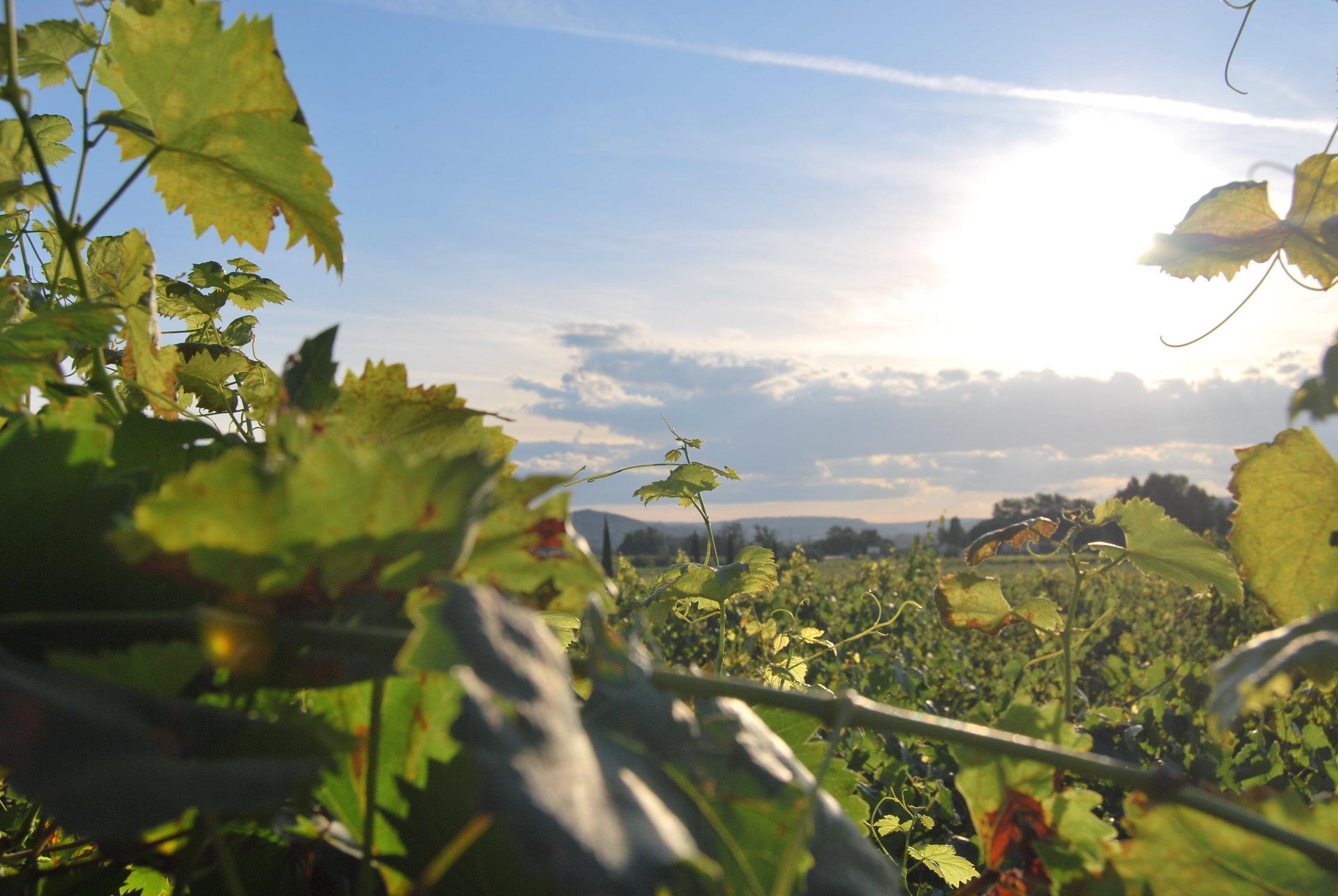 A vineyard in the summertime sun
