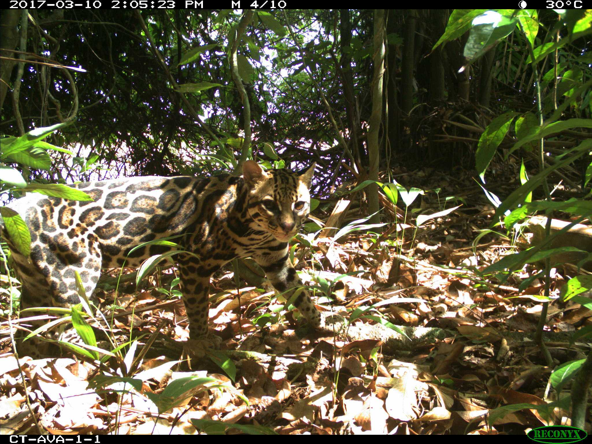 AVA-1-1, ocelot right dorsal view.jpg