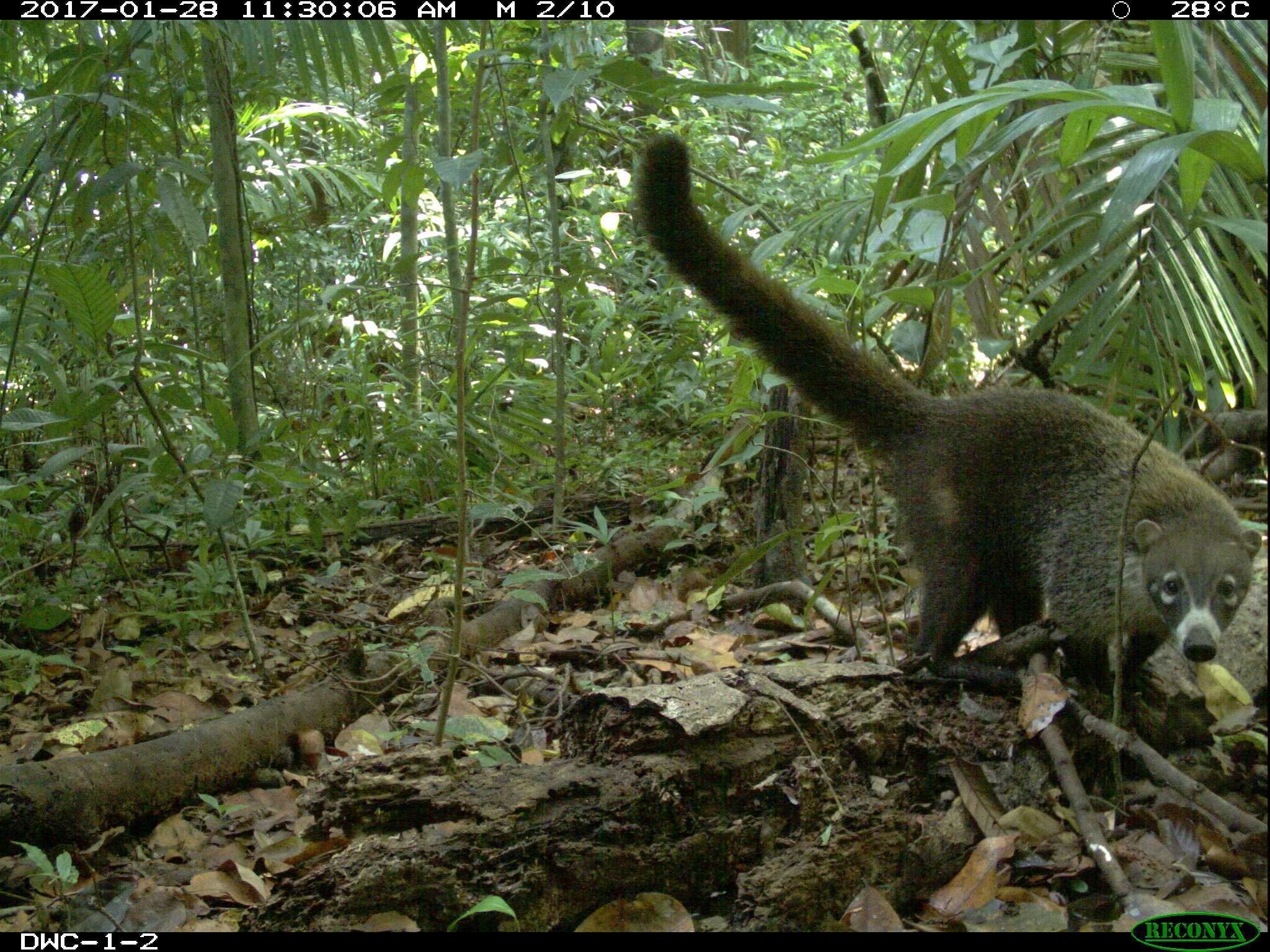 coati, DWC-1-2. cute looking.jpg