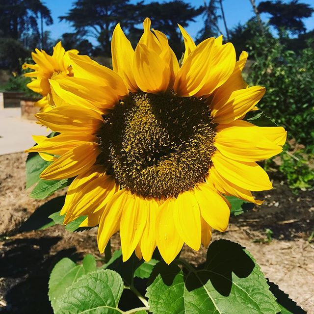 Happy Saturday 🤩🌻. Where are you finding your sunshine today, my lovely sunflowers?
