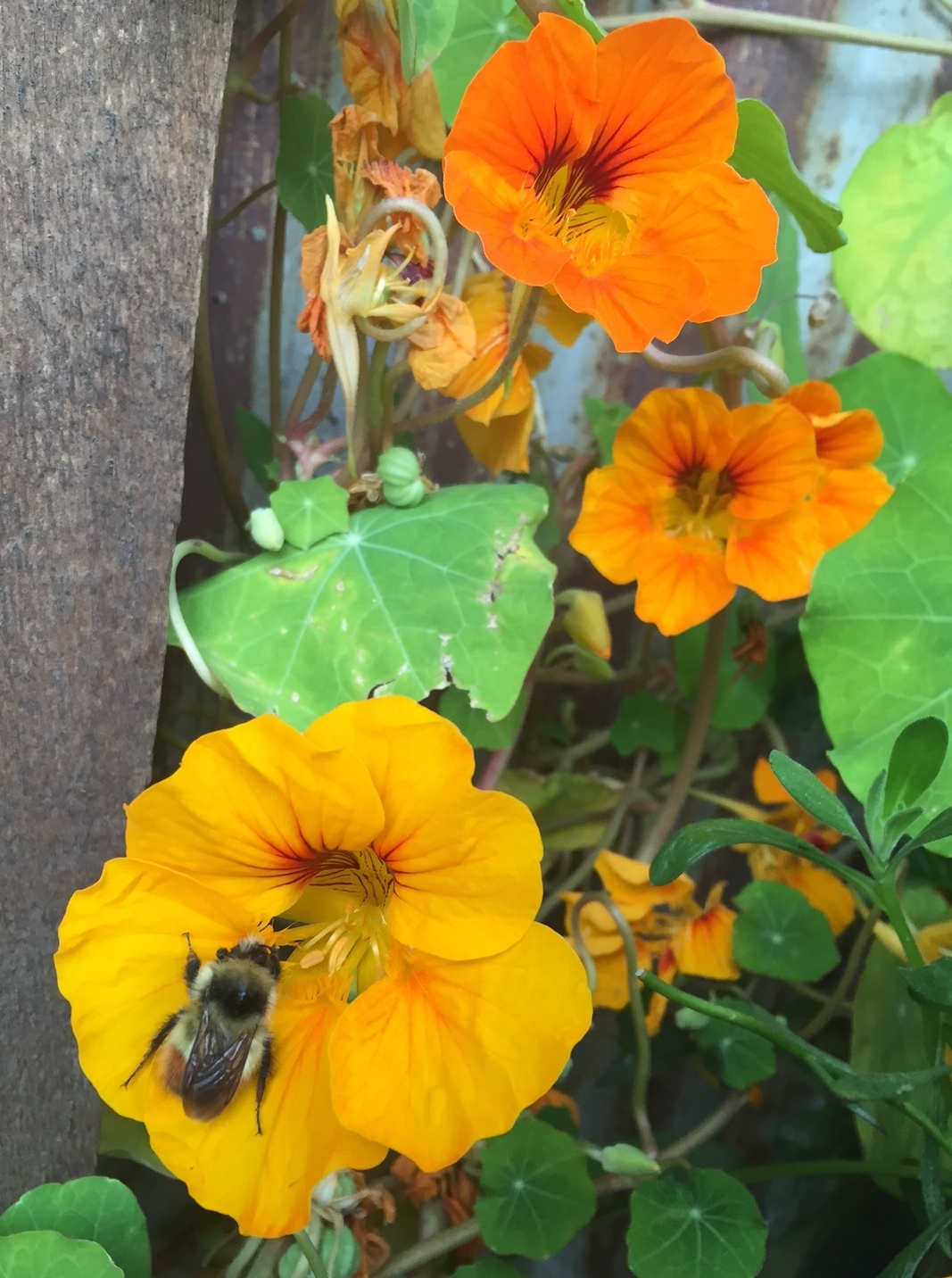 We love growing nasturtiums from seed & being surprised by their color palette.