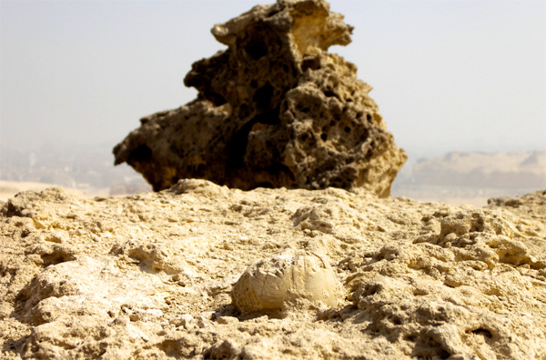 We can see the petrified exoskeleton of this Echinoid or shallow marine creature laying gravitationally flat on the top surface of the megalith temple block (forefront). The top surface of this block seems to be covered by lagoon sediments and alluvial sands that have cemented to it due to the forth coming hot dry climate after the sea water regression. In the background we can clearly see a top megalith temple block that has lost half its mass and disfigured due to seawater spray, wave mechanics, and marine habitat. Both block and the petrified Echinoid are 75 meters over our current sea level were a 2 meter high intertidal range spans from the Khafra enclosure up to the Menkara temple. Both temple block and petrified Echinoid are existing in this intertidal range.