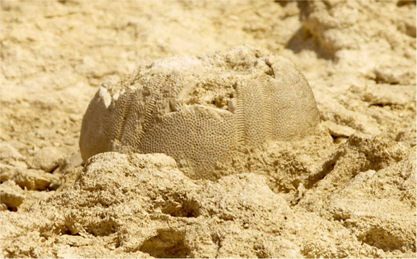 We can clearly see the pristine condition and minute details of the exoskeleton perforation which means that this marine creature must have petrified from recent times. It is not a body fossil as most fossils are that date back to 30 million years, but petrified by the sediment deposits that have filled its hollow.