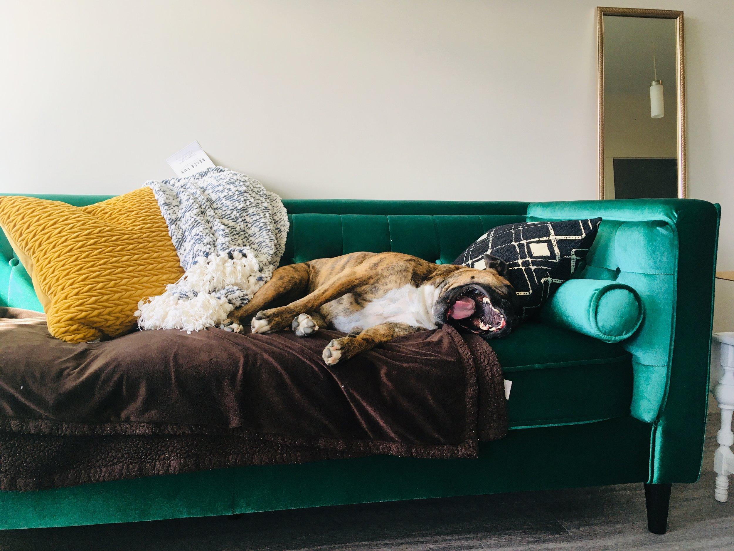 Stella getting rowdy - on the new velvet sofa!