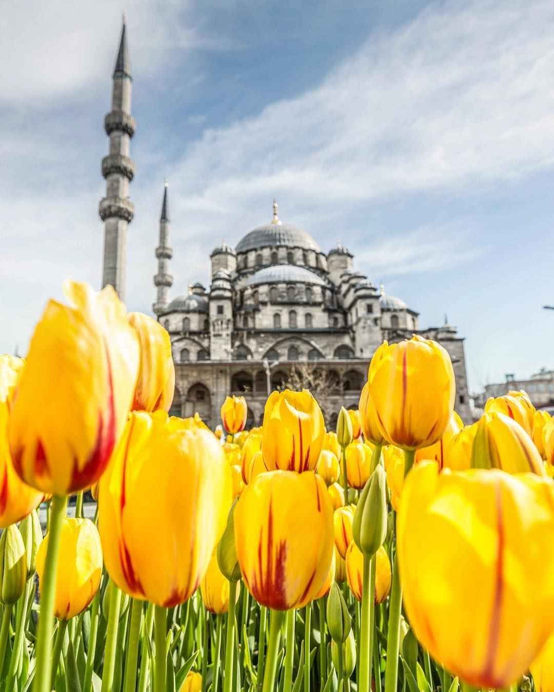 Bright yellow tulips in front of historic landmark Hagia Sophia in Istanbul, Turkey.