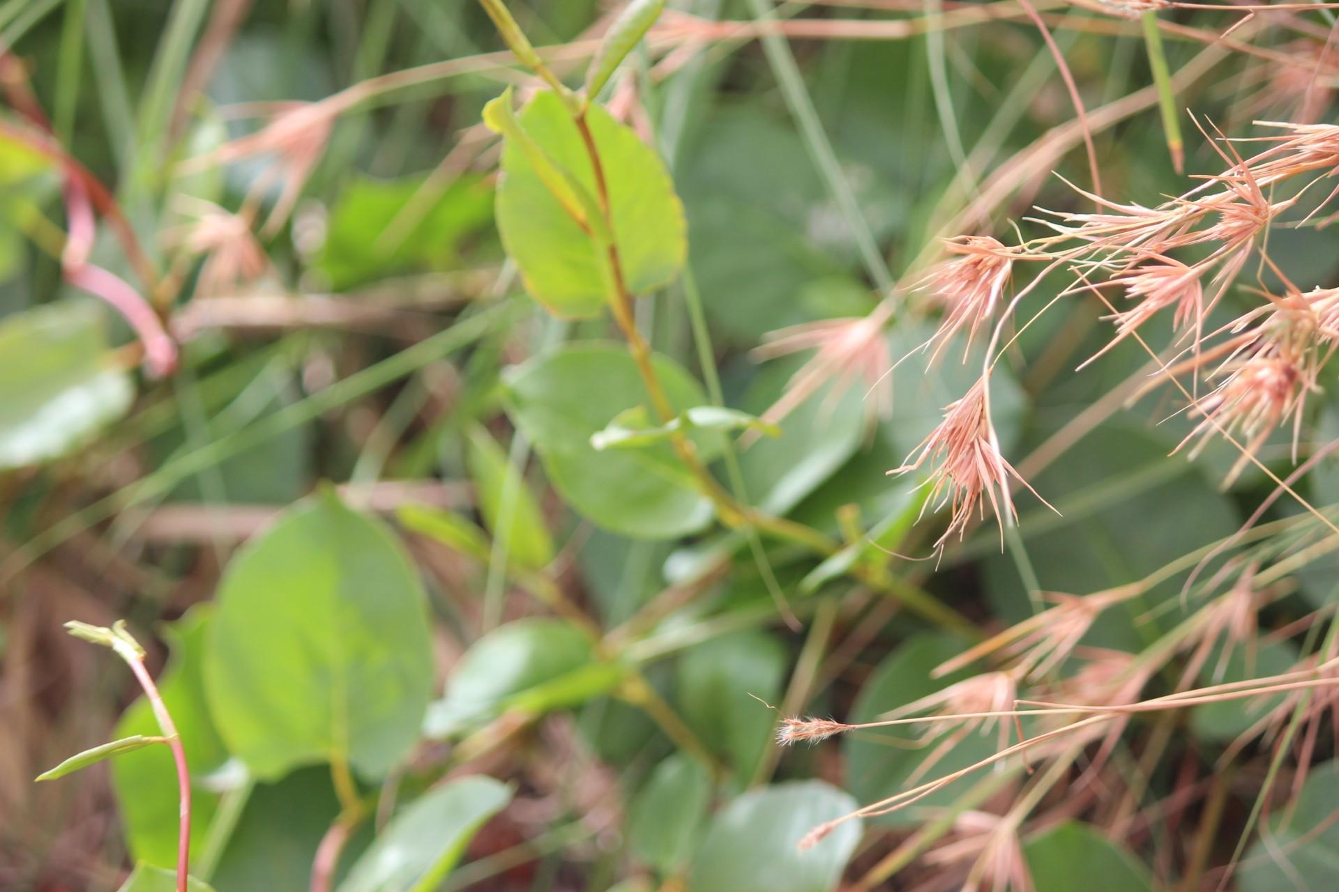 kangaroo grass heads