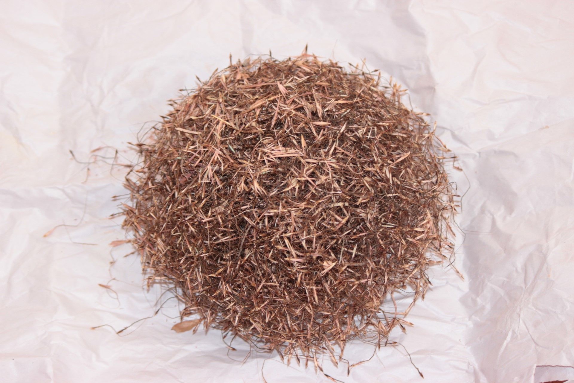 Themeda triandra Kangaroo grass (native perennial)