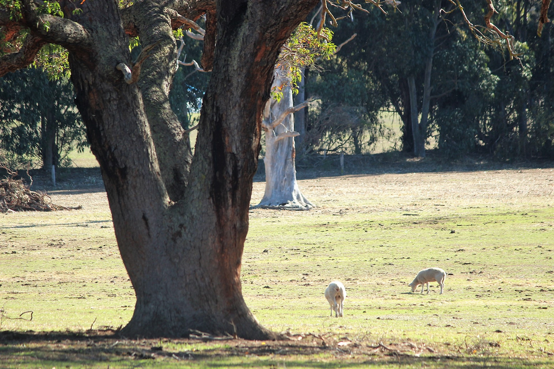 View of the Watkins' farm, with wiltipoll sheep, east of Manjimup, Western Australia