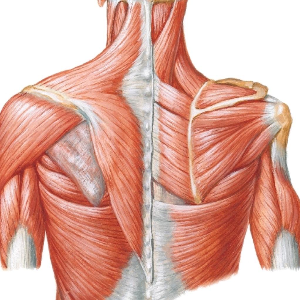 Posterior Shoulder Complex Musculature