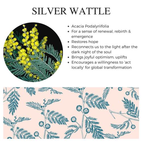 Silver Wattle.png