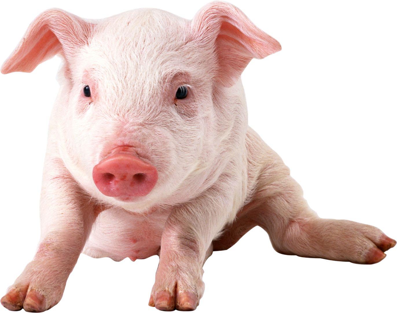 pig for brochure.jpg