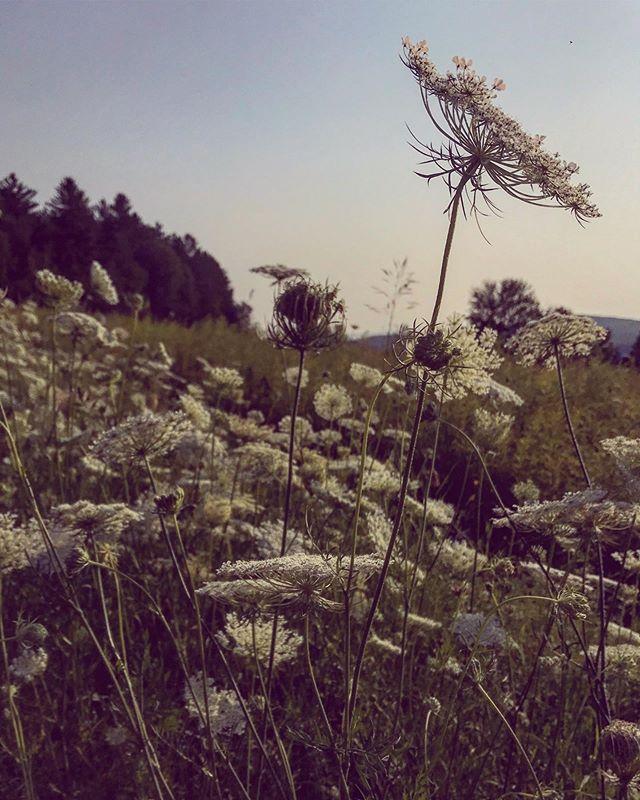 Peaceful summer evening mood ✨ . . . . #mood #summermood #haveasummer #gotmefeeling #summertime #andthelivingiseasy #thesteepingleaf #deepbreaths #relax #queenanneslace #wildflowers #youbelongamongthewildflowers #summerflowers #sunset #sunsetwalk #quietude #summervibes