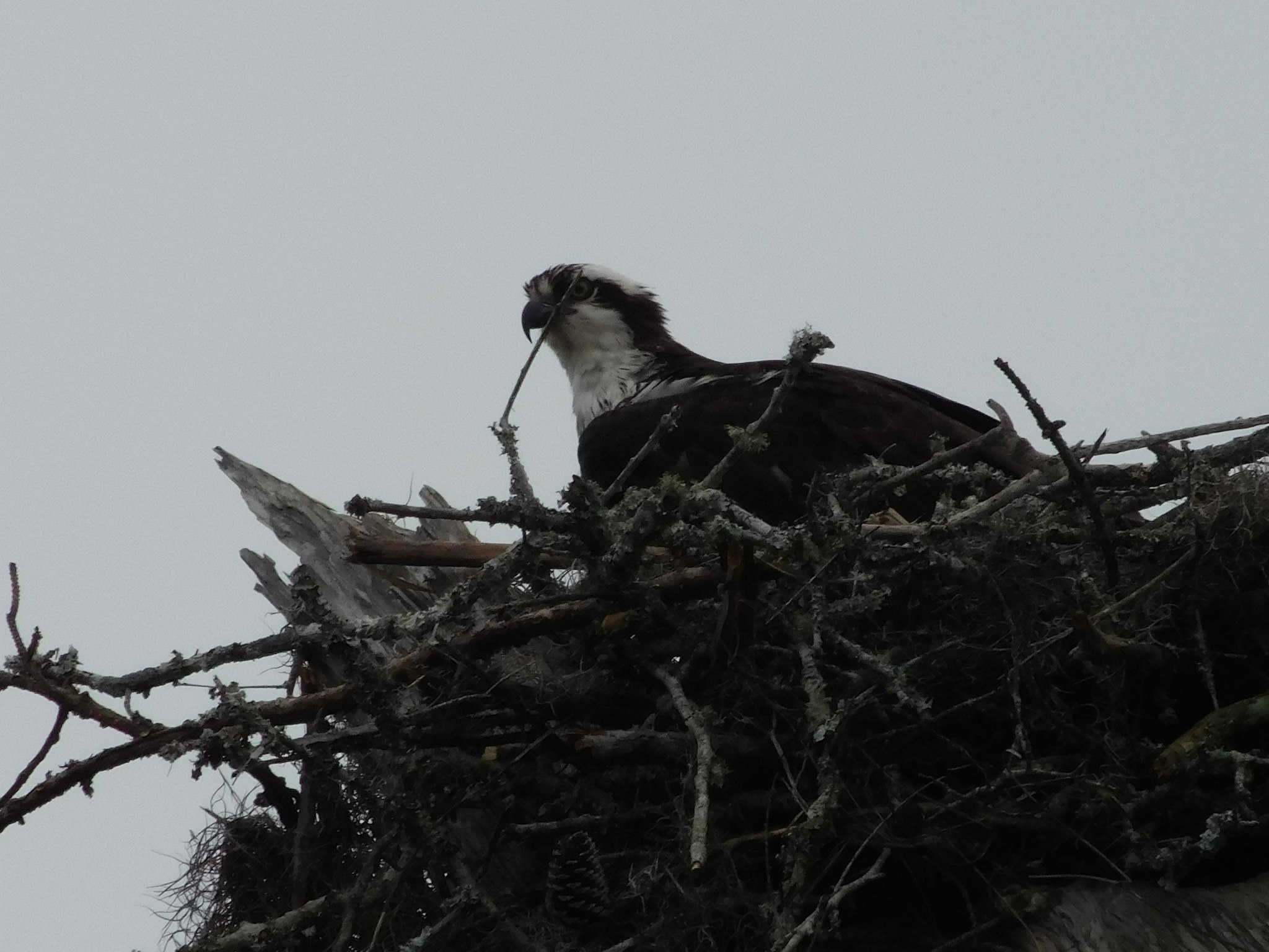 osprey114.jpg
