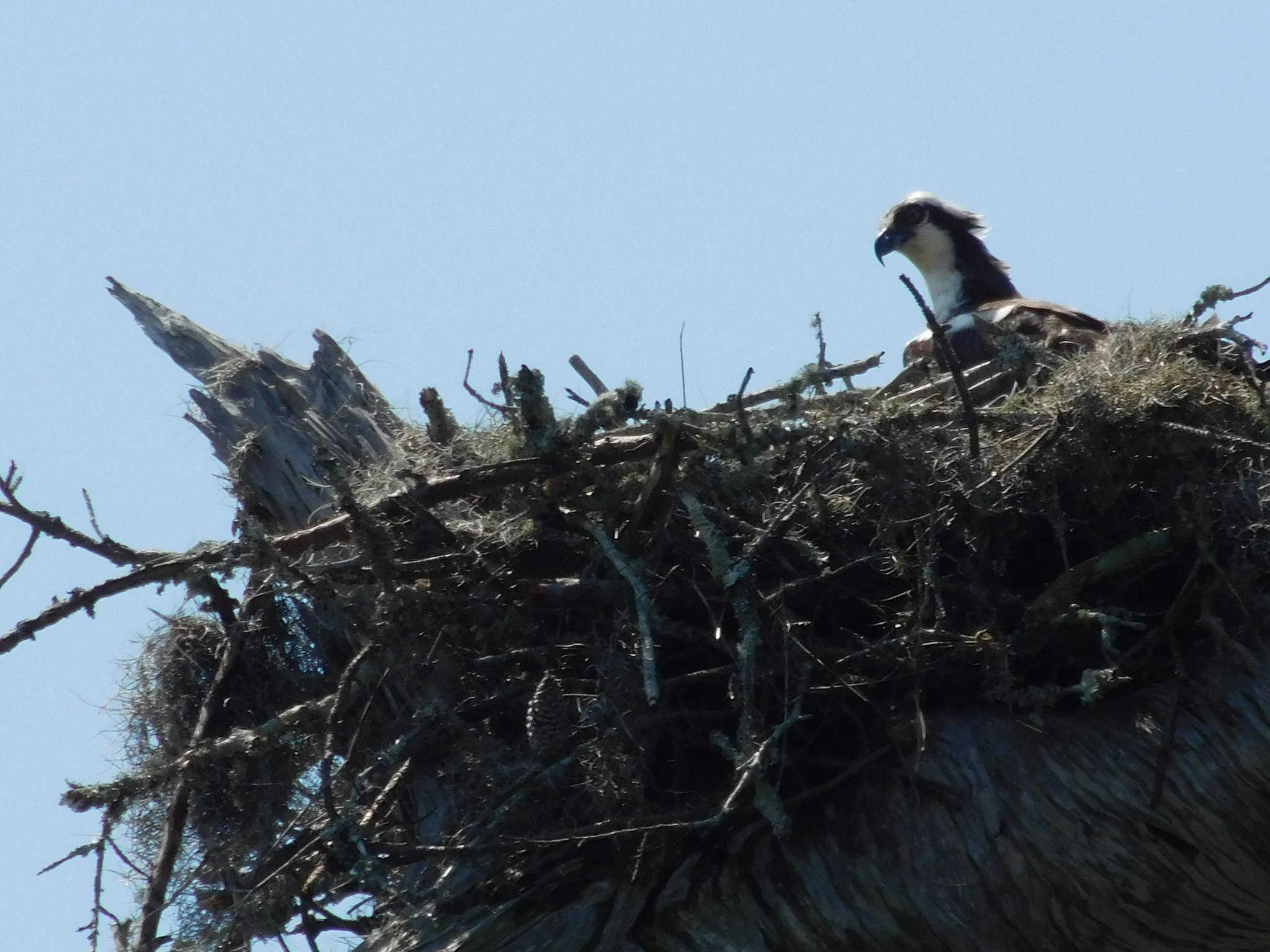 osprey117.jpg