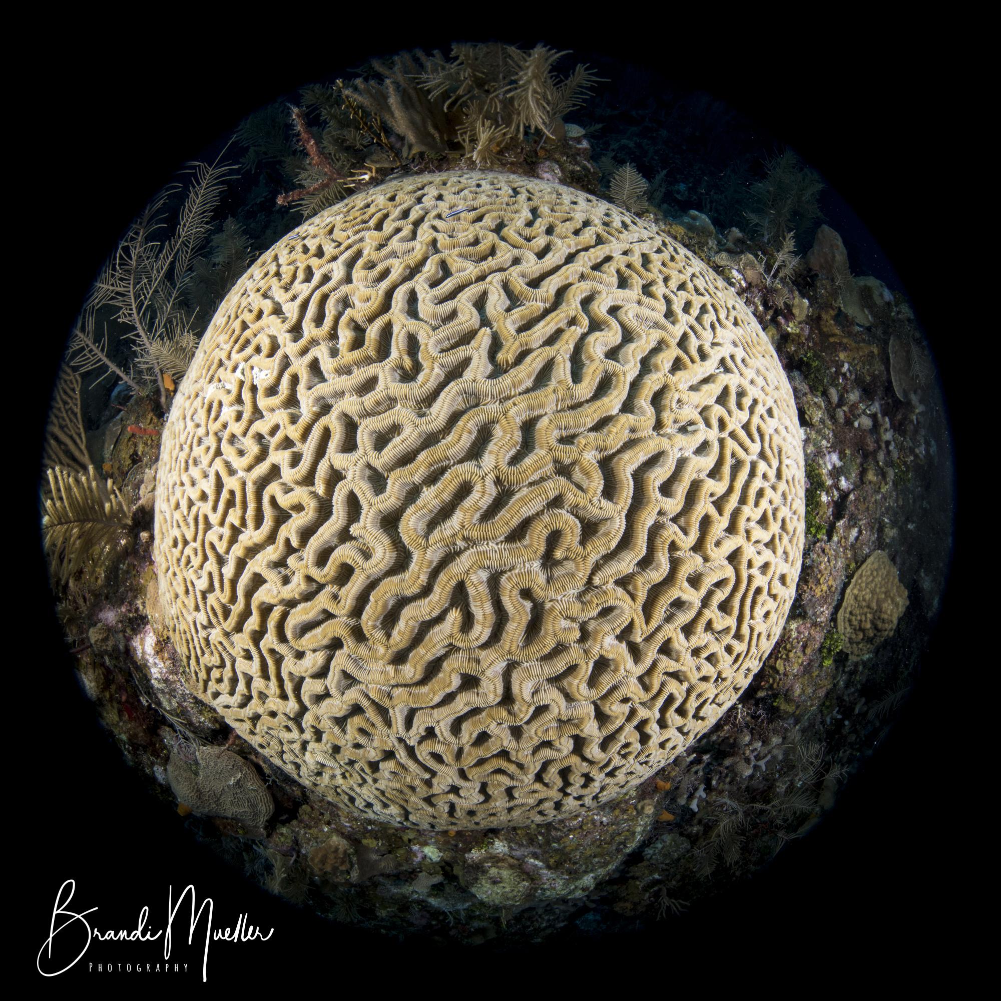 Roatan - Brain Coral.jpg