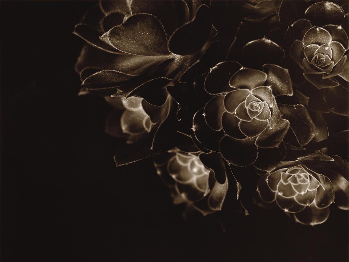 Aeonium Atropurpureum