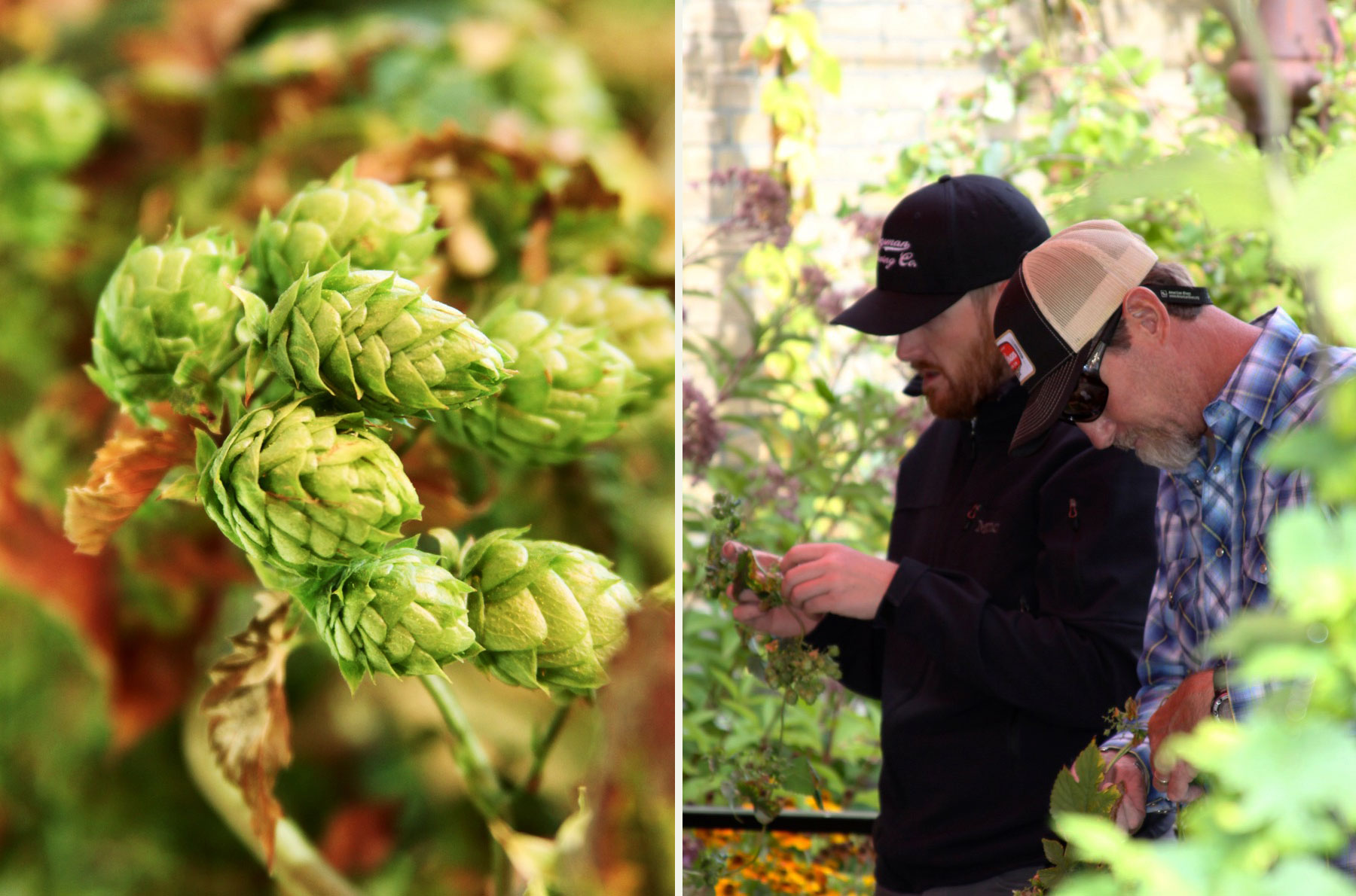 Ale Works Hop Harvest - Every October, we pluck the fresh Cascade hops that climb up our exterior brick walls. We hand our harvest over to our friends at the Bozeman Brewing Co. who create a fresh-hopped Ale Works Hopzone brew exclusively for us! It couldn't be better to contribute our own hops to our own signature brew, as well as to the Community Collaboration Terroir IPA that the brewery makes annually from a combination of hops that both grow wild across the Gallatin Valley (and are picked by our beer-geek community) and those donated by local backyard growers like us. The annual harvest party at the brewery is a highlight of every autumn, as the community pitches in to clean and pluck. Ale Works donates the food, and the beer, well, it flows….