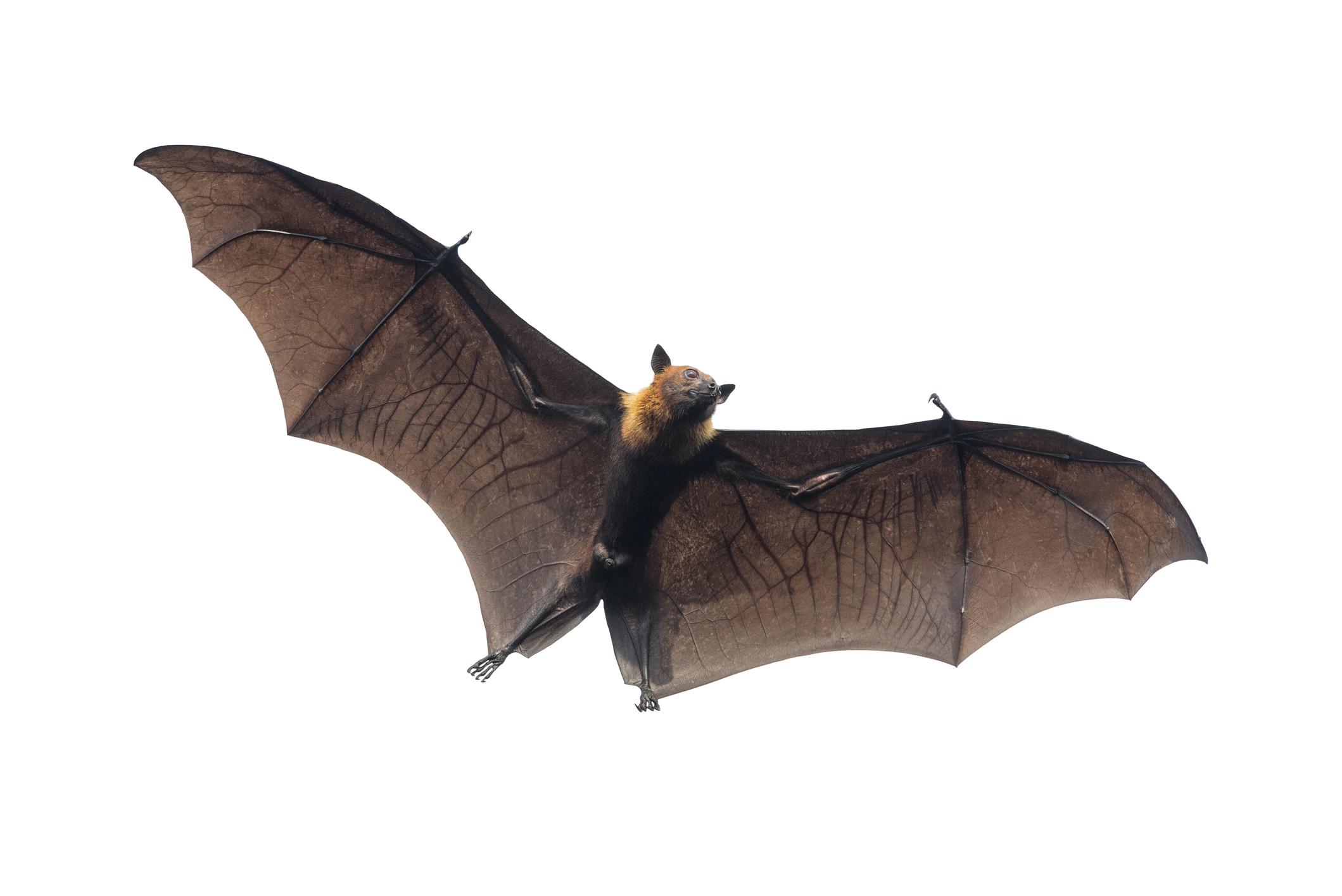 - Bat Exclusion