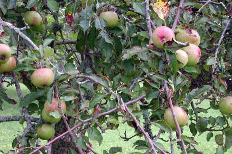 Apples455.jpg