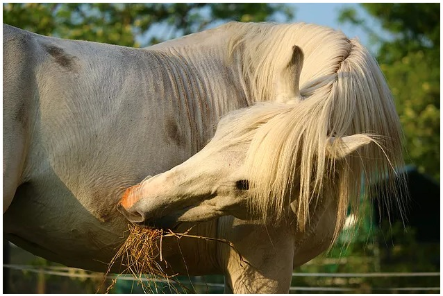 The Benefits of Carrot Stretches   McTimoney Horse Equine Dog Canine Sports Massage Worcestershire.jpg