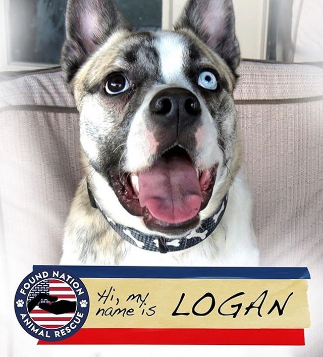 "Hi, my name is Logan. I'm a 10 month old Husky/Boston Terrier mix. I was an ""accident"" from a backyard breeder, but my foster family thinks I was meant to be! I do great with other dogs and kids, but not so much with cats (I get a bit excited...they are SO FLUFFY!!!!). I'm looking for a forever home, and would love it if you stopped by this Saturday and gave me a pet.  Sat Jan 12th, 10 AM · Bentley's Pet Stuff · Arvada, Colorado #foundnationanimalrescue #fosterpet #fosterdog #dogadoption #thegrumpypumpkin #doughertybirds #monstersofthecreek #rescuedog #rescuedogs #adoptdontshop"