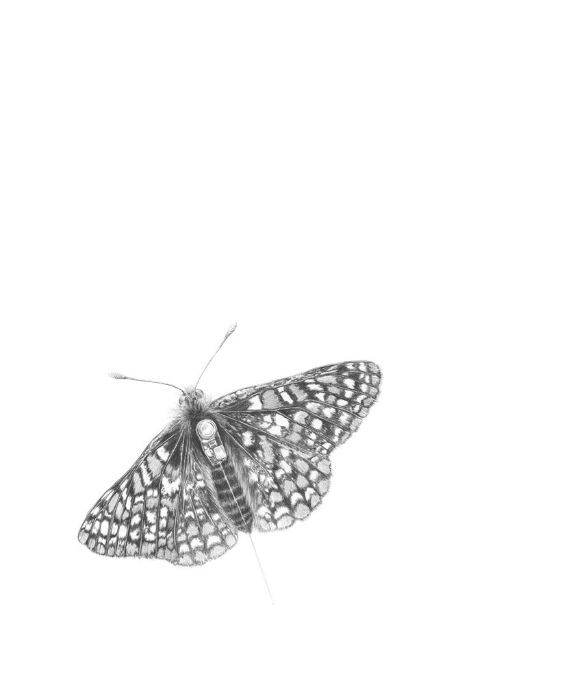 CheckerSpotButterfly255.jpg