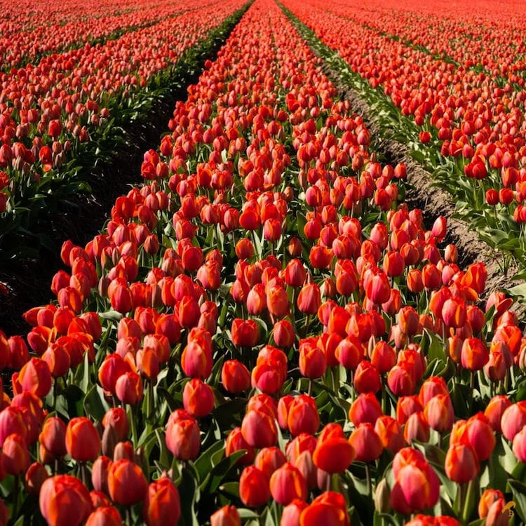 bea-nagy-photos-of-tulip-fields-5.jpg