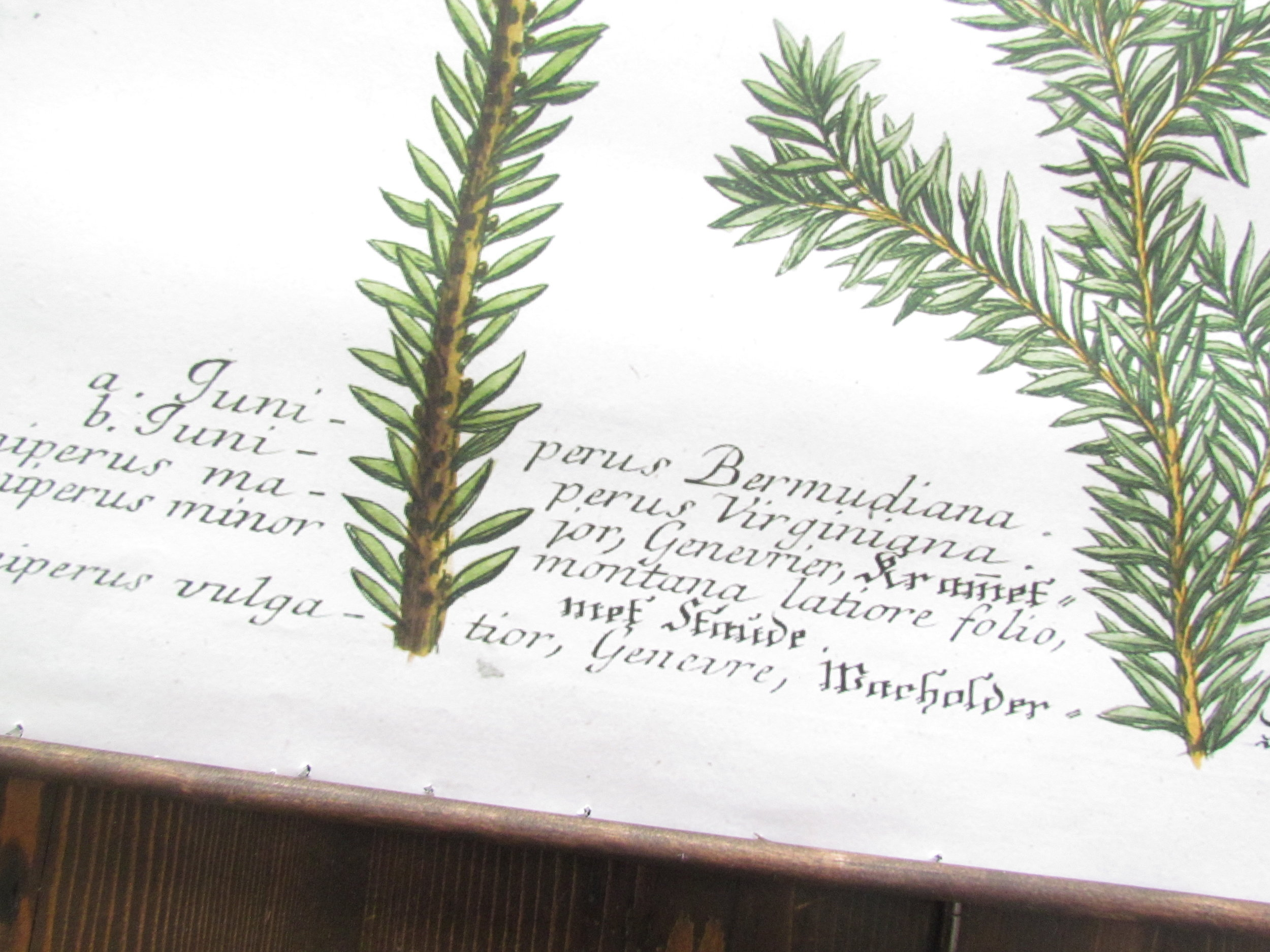 DIY Hanging Juniper Botanical Print