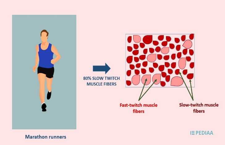 Women tend to have a greater amount of slow-twitch muscle fibres than men. Which are more useful for ultra-marathons.
