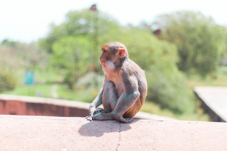 ¿Interesado en viajar a la India? Aquí la guía completa que necesitas saber: vuelos, vestimienta, lugares turísticos, costo, transporte y mucho más. viaje-india-travel-guia-15-monkey-agra-fort