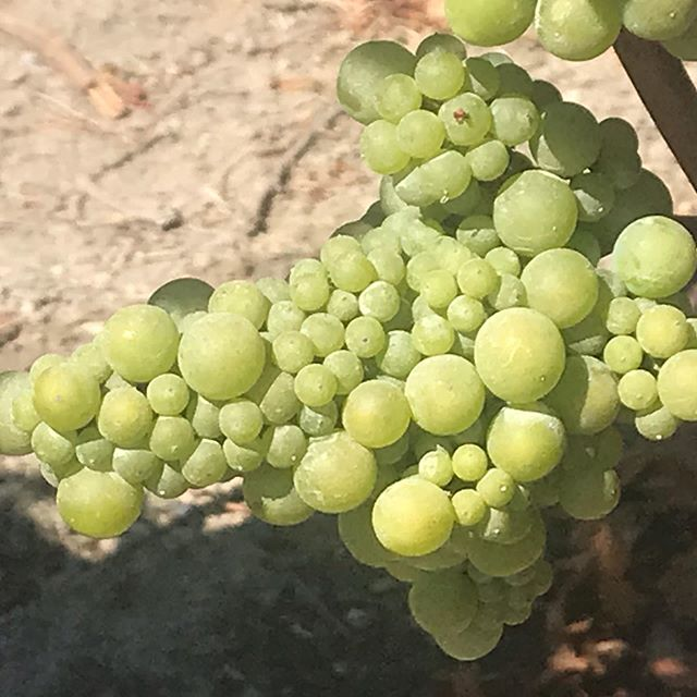 We will be offering a very special Chardonnay next year from the @russianrivervalley - it is Wente clone Chardonnay from the revered Ritchie Vineyard!  2019 Rubia Russian River Valley Ritchie Chardonnay will be a must in your wine locker/cellar/cooler.  Stayed tuned!  #rubiawines #wines #russianriverwines  #chardonnay #wentechardonnay #ritchievineyard #wineproject #boutiquewines #cultwine #yountvillelife